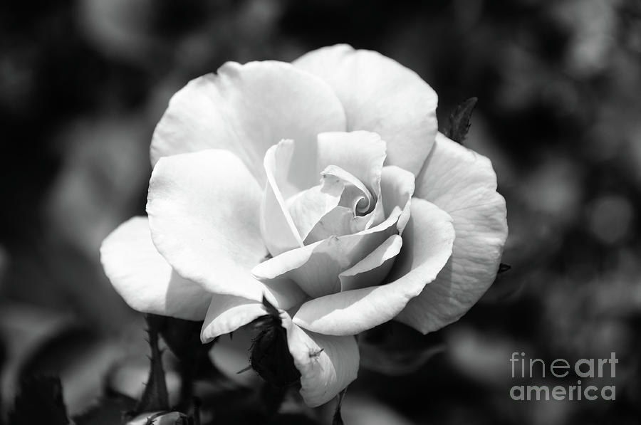 Rose Photograph - White Rose by Ronald Grogan