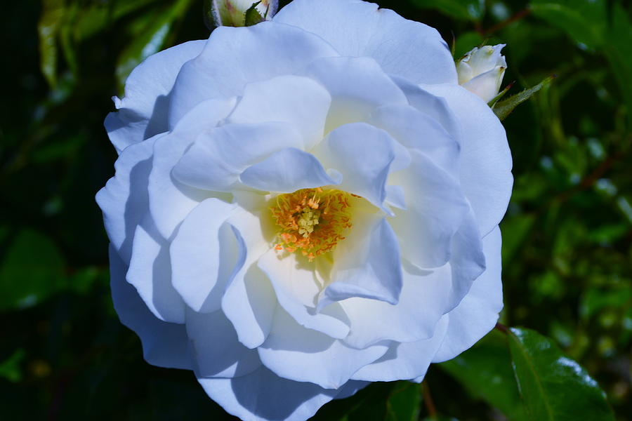 White Rose Photograph by Saifon Anaya