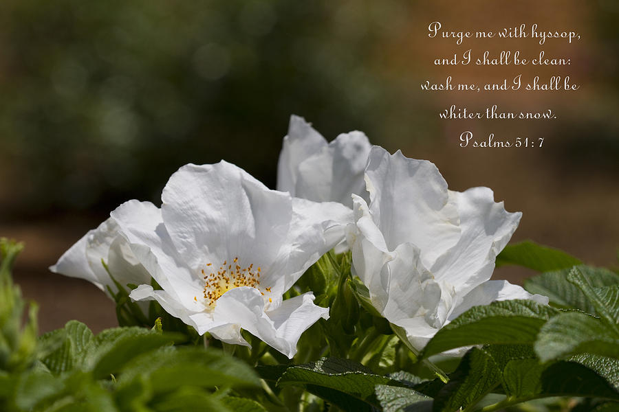 White Roses Photograph - White Roses - Purge Me With Hyssop by Kathy Clark