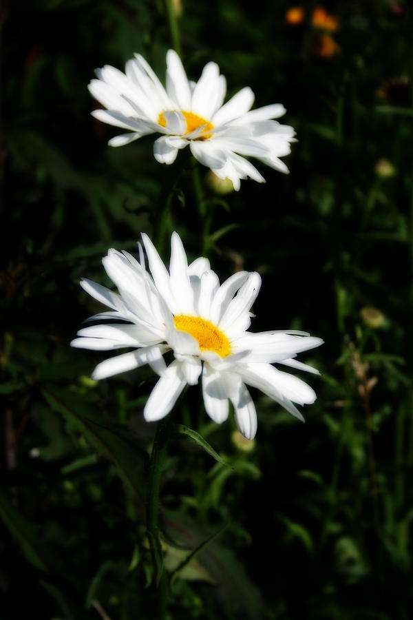 Nature Photograph - White Shasta Daisies by Kay Novy