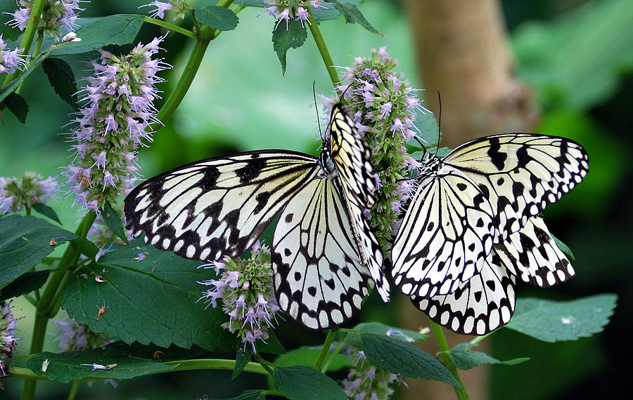 Butterfly Photograph - White by Skip Willits