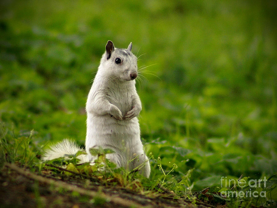 Squirrel Photograph - White Squirrel by JK York