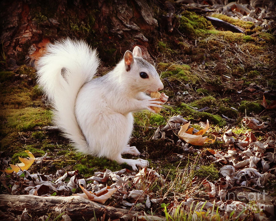 White Squirrel Photograph - White Squirrel With Peanut by Crystal Joy Photography