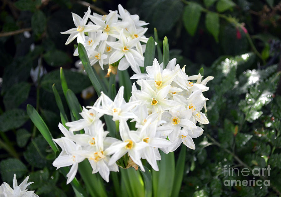 White star flowers photograph by eva thomas white flowers photograph white star flowers by eva thomas mightylinksfo