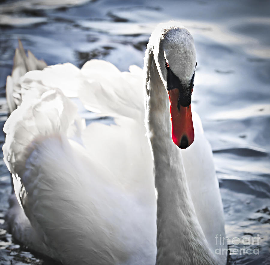 Swan Photograph - White Swan by Elena Elisseeva