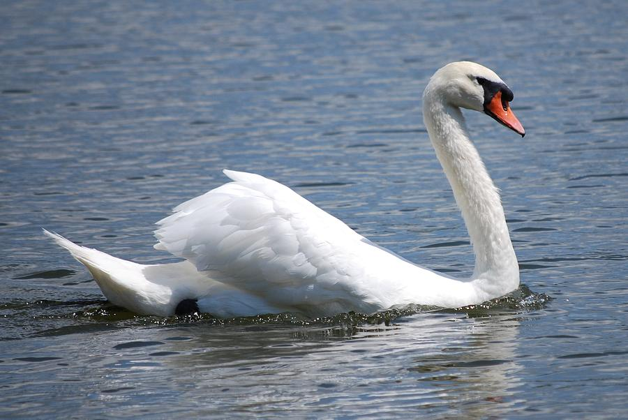 Swan Photograph - White Swan On A Lake by Carrie Munoz
