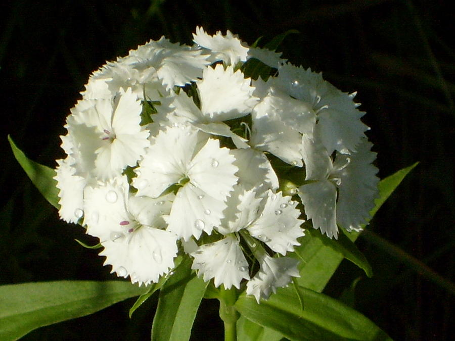 White sweet william with rain drops photograph by kathryn pinkham sweet william photograph white sweet william with rain drops by kathryn pinkham mightylinksfo