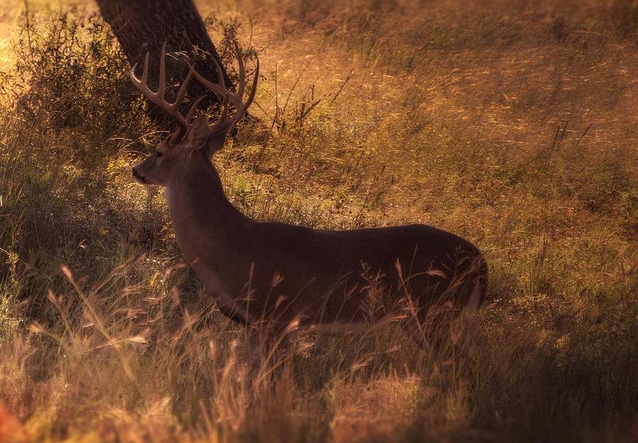 American Photograph - White Tail Buck by Kelly Rader