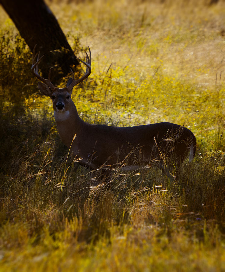 White Tail Deer Photograph - White Tail by Kelly Rader
