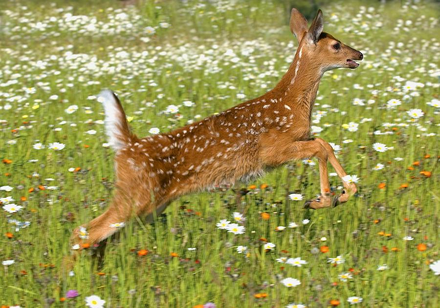 White Tailed Deer Fawn In Field Of Photograph by John Pitcher - photo#41