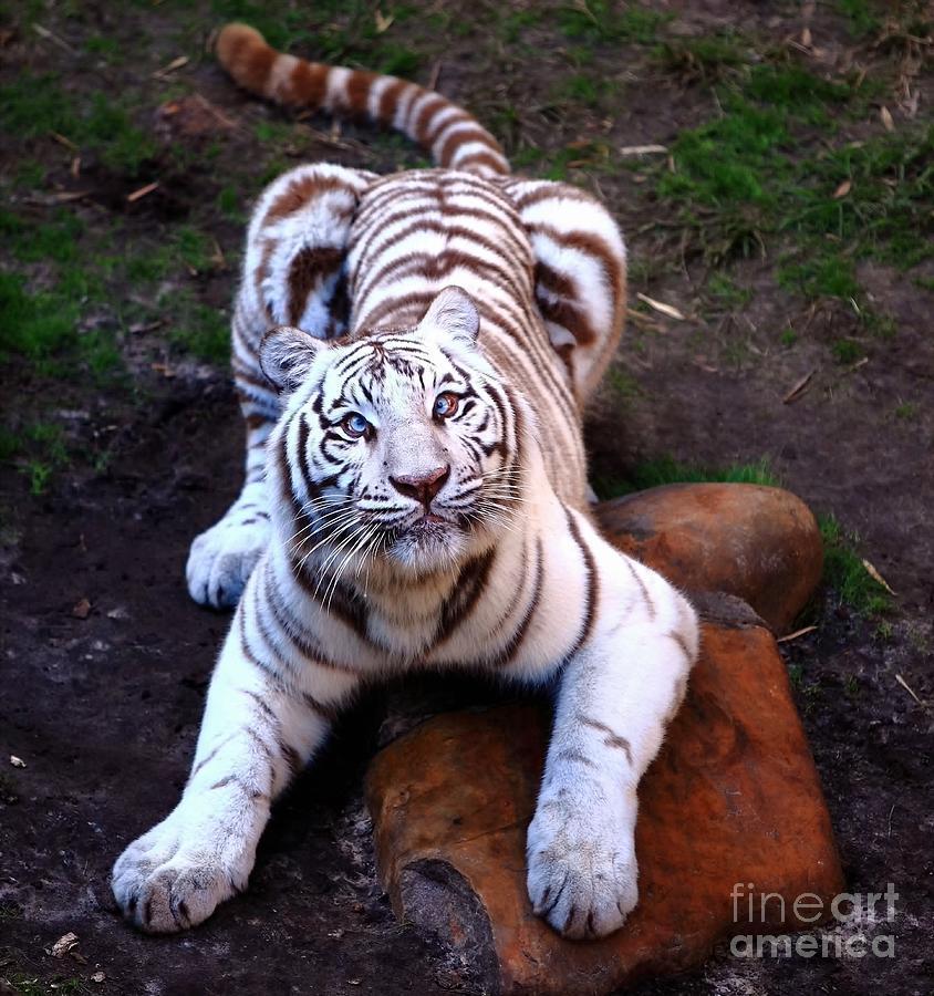 Siberia Photograph - White Tiger 2 by Randy Matthews
