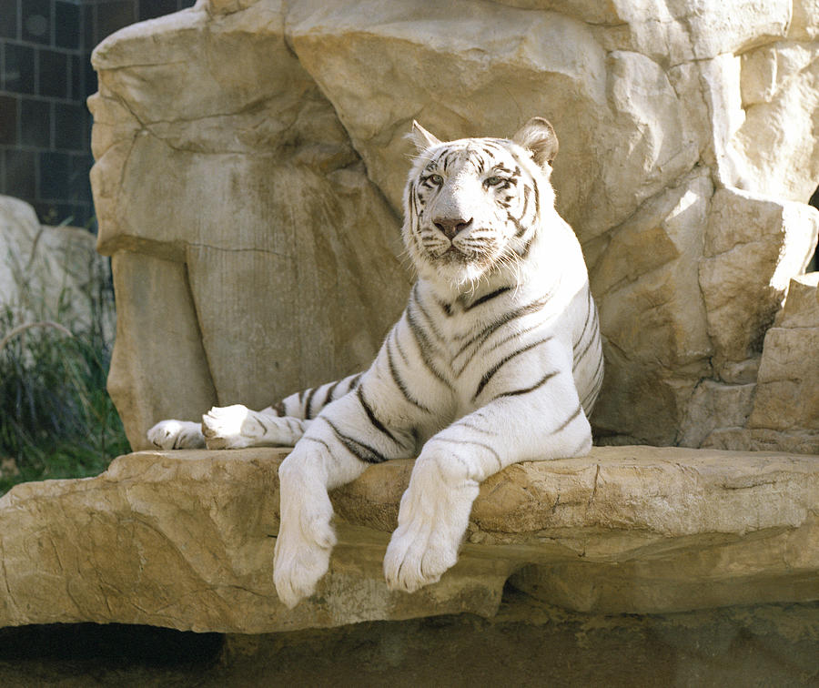 Henry Doorly Zoo Photograph - White Tiger by John Bowers
