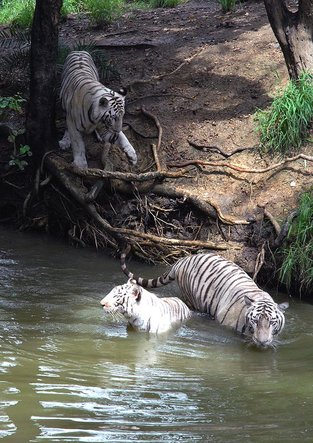 White Tigers Photograph - White Tigers In Water Pond by Johnson Moya