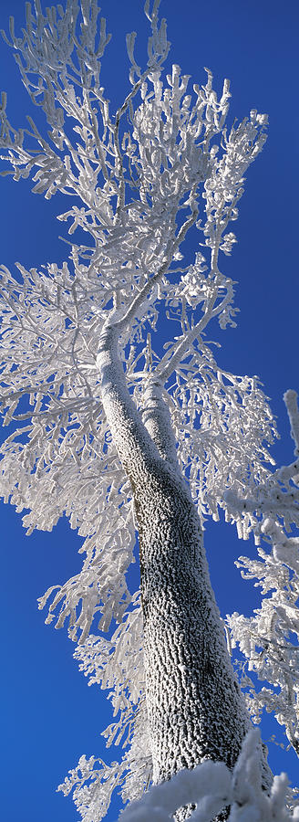 White Tree And Blue Sky Photograph