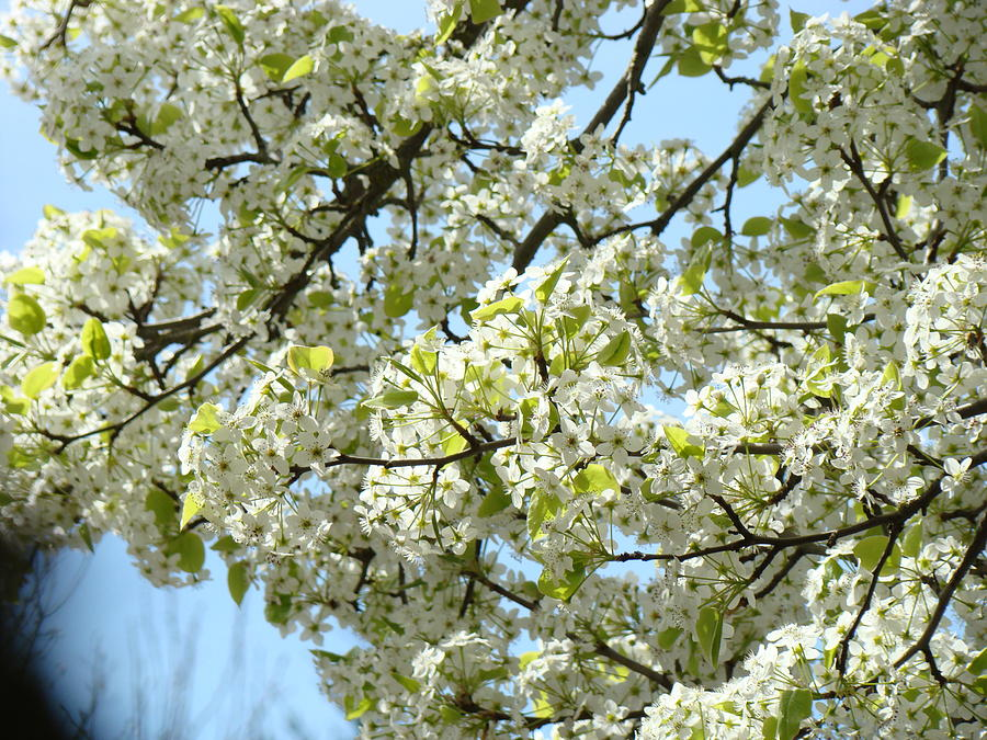White tree blossoms blue sky art prints photograph by baslee troutman colorful photograph white tree blossoms blue sky art prints by baslee troutman mightylinksfo