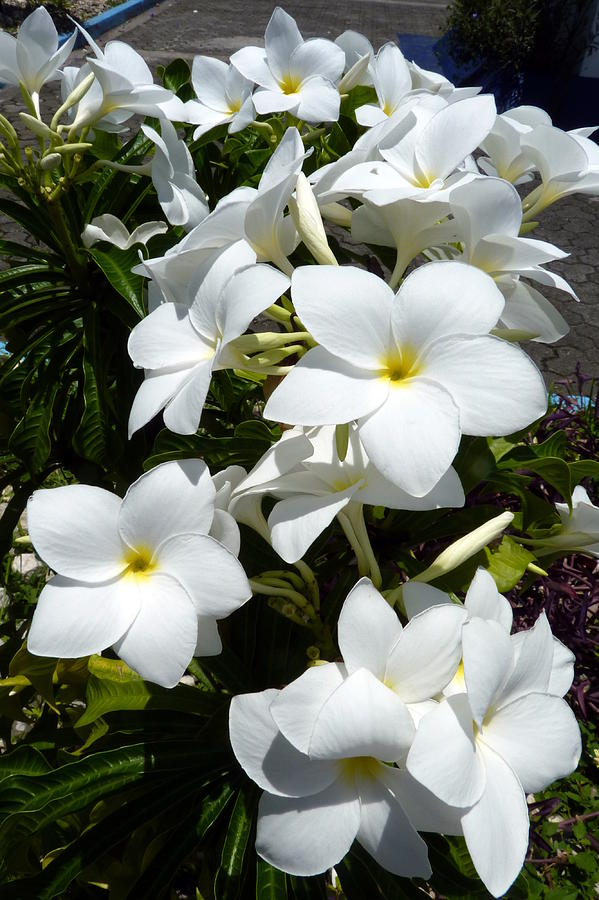 White tropical flowers photograph by carla parris flower photograph white tropical flowers by carla parris mightylinksfo