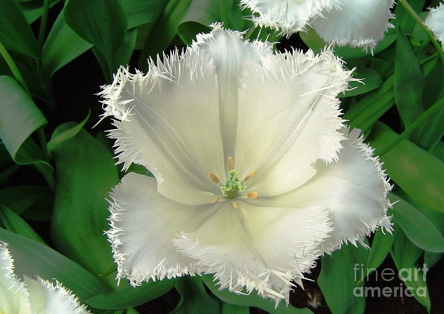 Tulip Photograph - White Tulip by AmaS Art