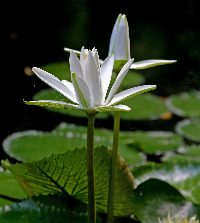 White Water Lilies Photograph - White Water Lily by Lisa  Spencer