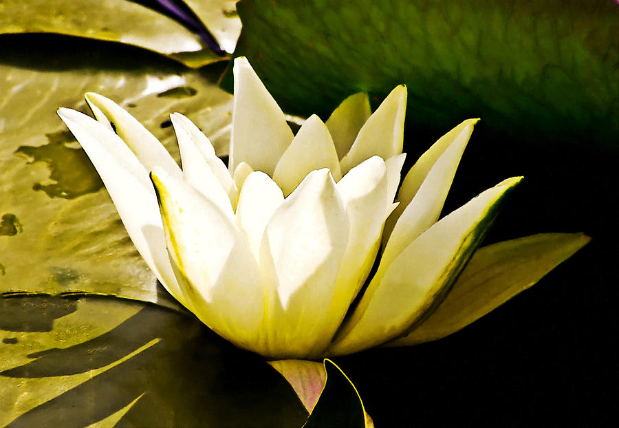 White Digital Art - White Water Lily by Design Windmill