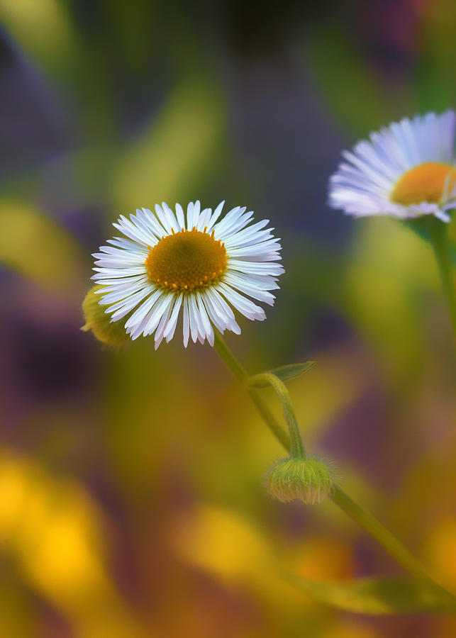 Aster Photograph - White Wildflower On Pastels by Bill Tiepelman