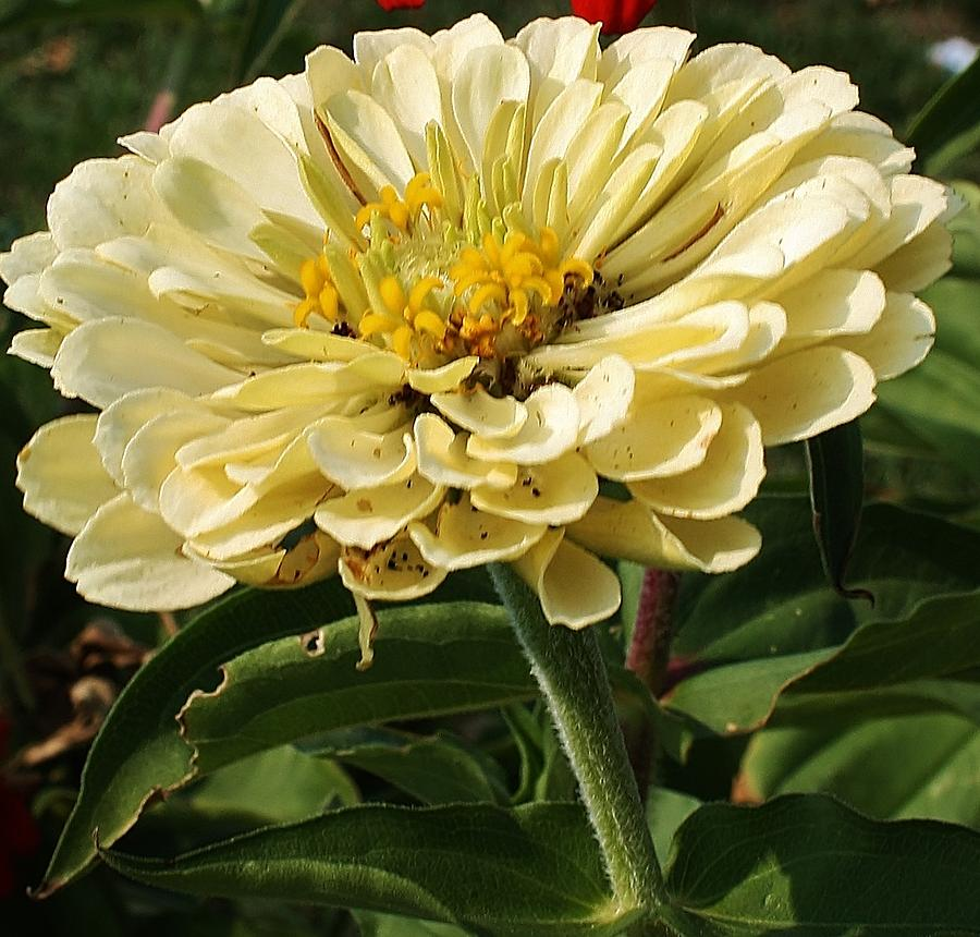 Flora Photograph - White Zinnia by Bruce Bley