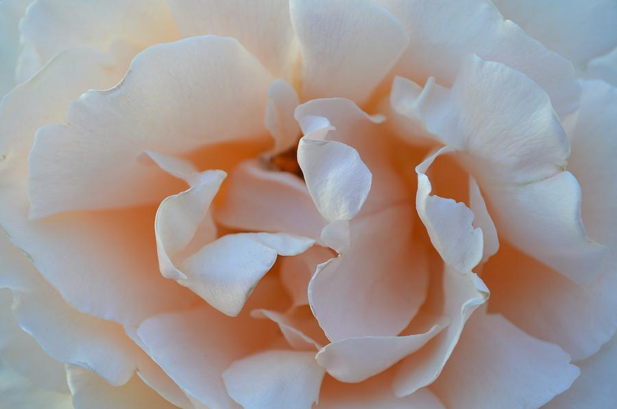 Flower Photograph - Whitest Rose by Naomi Berhane