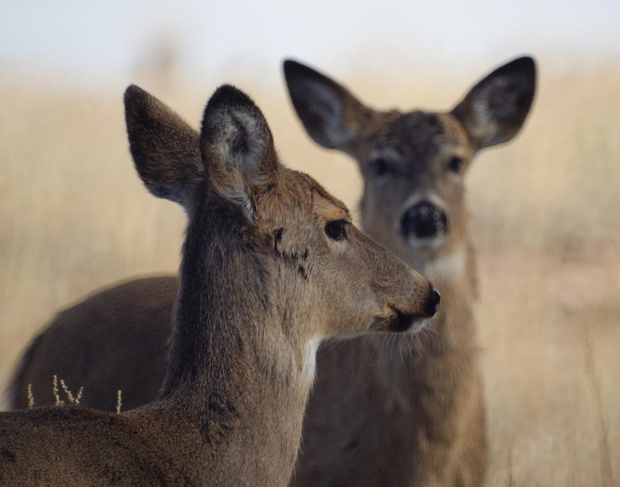 Deer Photograph - Whitetail Deer by Ernie Echols