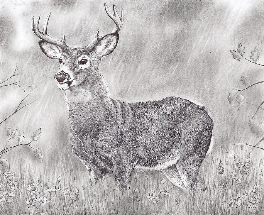 It is a picture of Universal White Tailed Deer Drawing