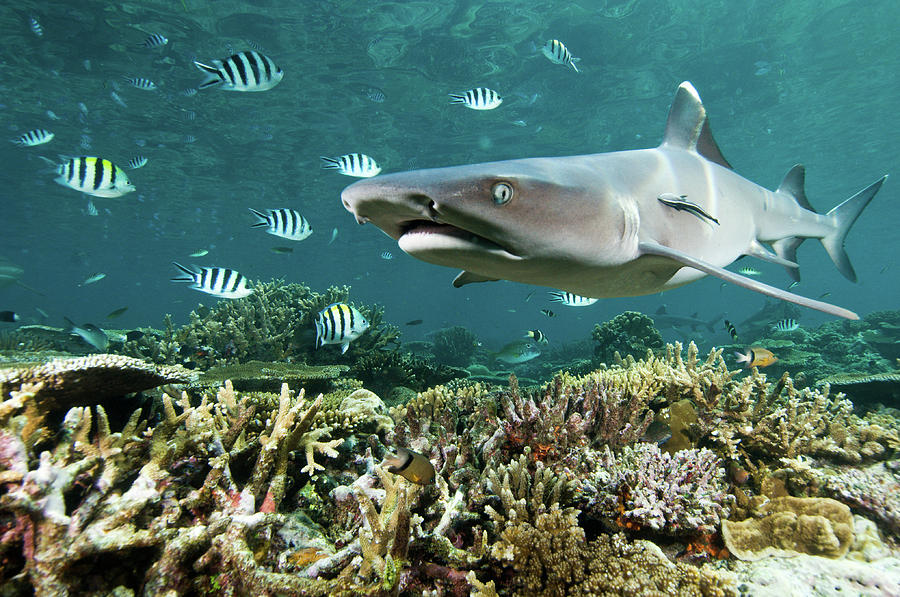Horizontal Photograph - Whitetip Shark Over Coral Reef by Alexander Safonov