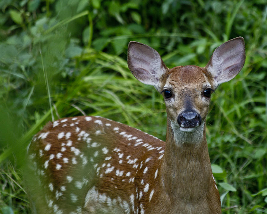 Fawn Photograph - Who Are You by Betsy Knapp