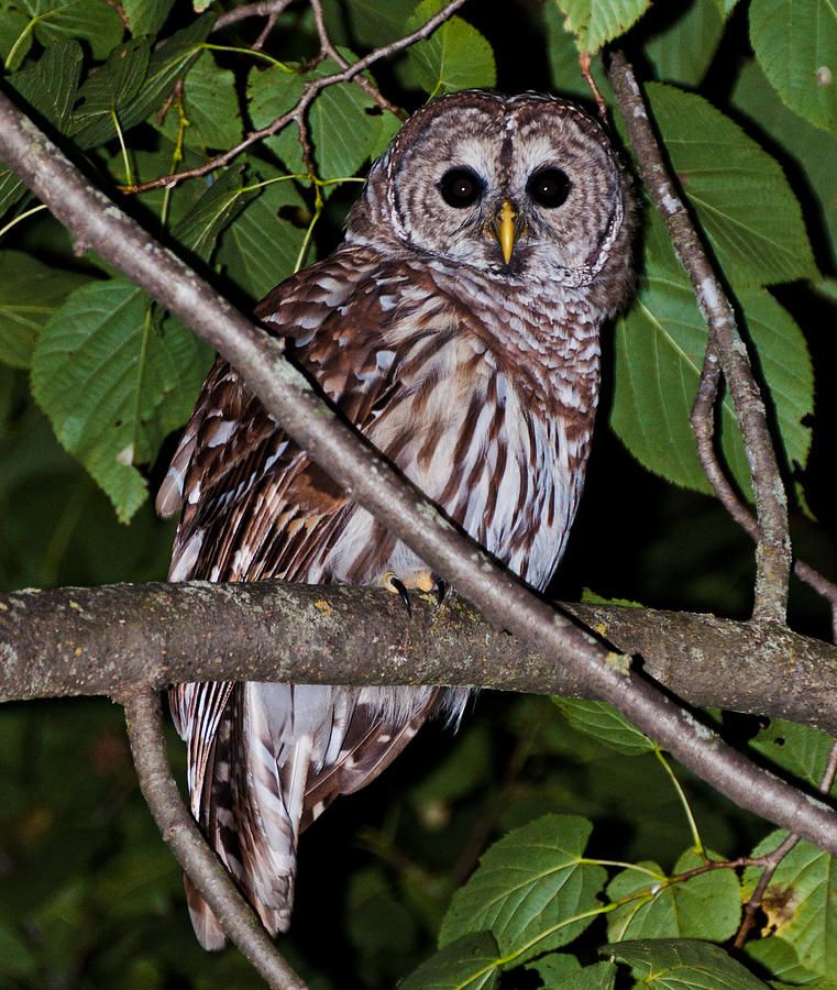 Owl Photograph - Who Are You by Cheryl Baxter