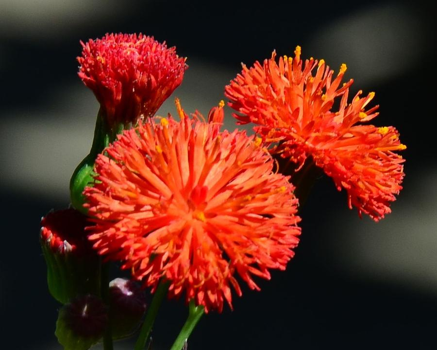 Flower Photograph - Who Flower by Mark Bowmer