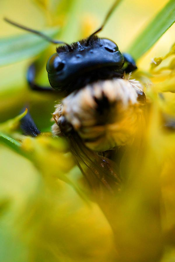 Bee Photograph - Who Knew Bees Have Mustaches by Beth Akerman