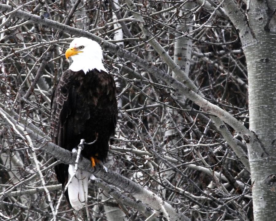 Eagles Photograph - Who Me by Don Mann
