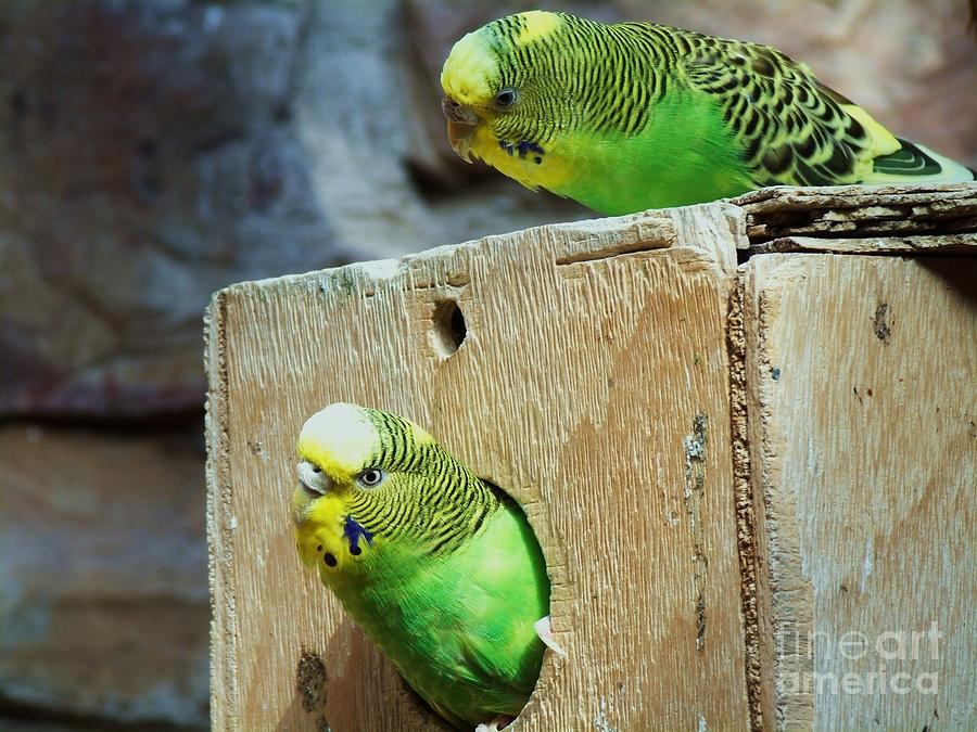 Parakeets Photograph - Whos There? by Donna Parlow