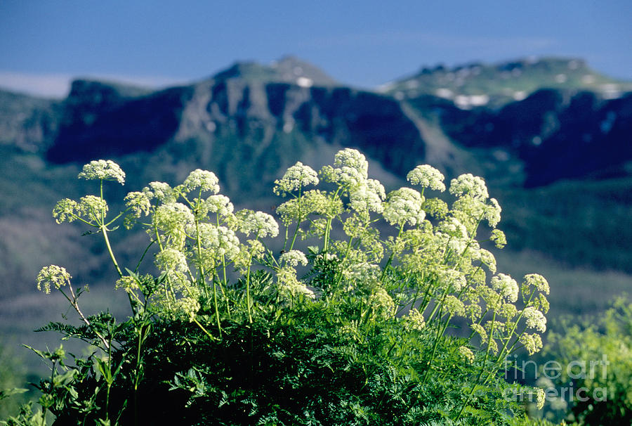 Colorado Landscape Photograph - Wild Angelica by James Steinberg and Photo Researchers