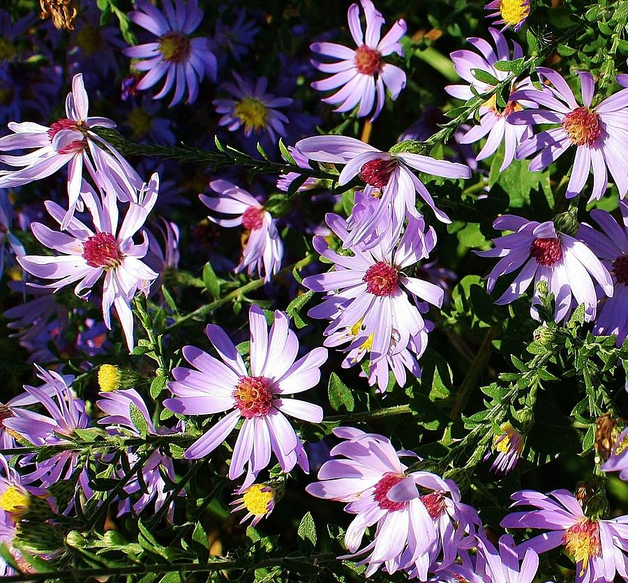 Flora Photograph - Wild Asters by Bruce Bley