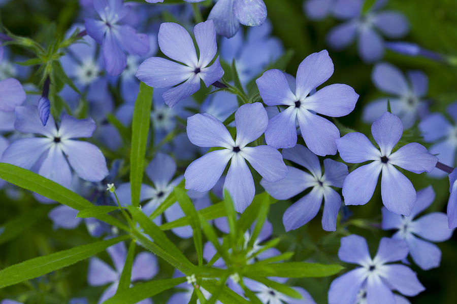 wild blue phlox flower 1 a photograph by john brueske. Black Bedroom Furniture Sets. Home Design Ideas
