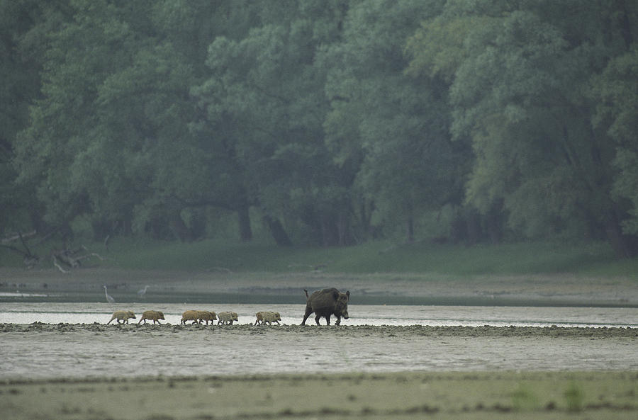 Animals Photograph - Wild Boar And Her Piglets Running by Klaus Nigge