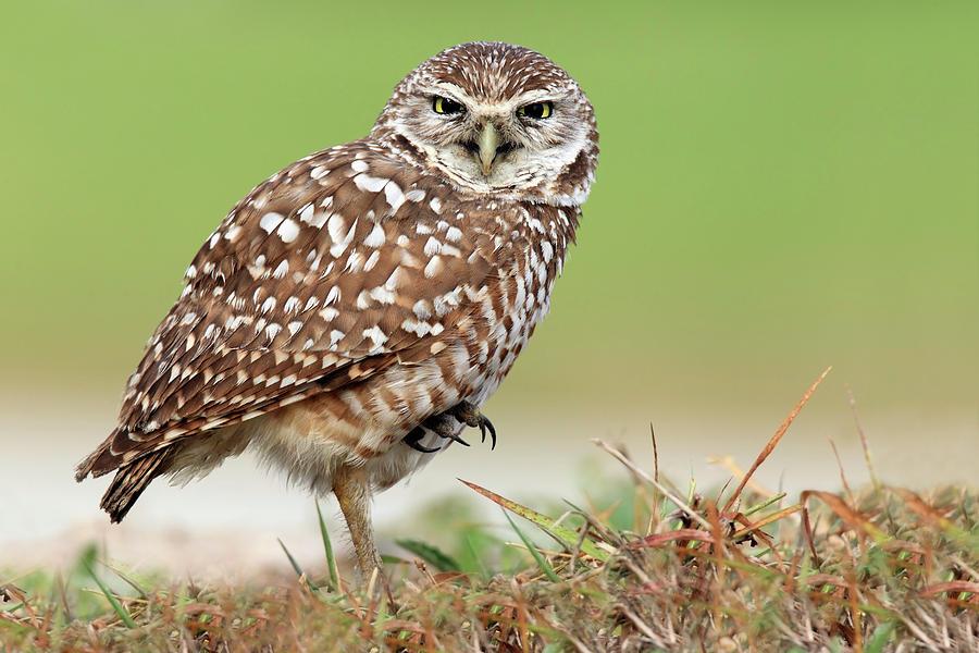 Horizontal Photograph - Wild Burrowing Owl Balancing On One Leg by Mlorenzphotography