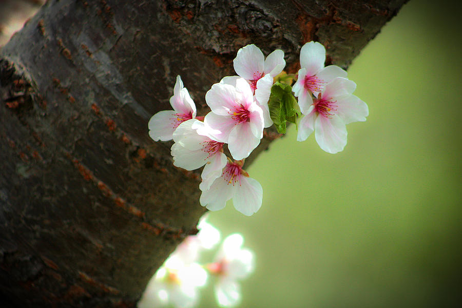 Apple Photograph - Wild Cherry Blossom by Emanuel Tanjala