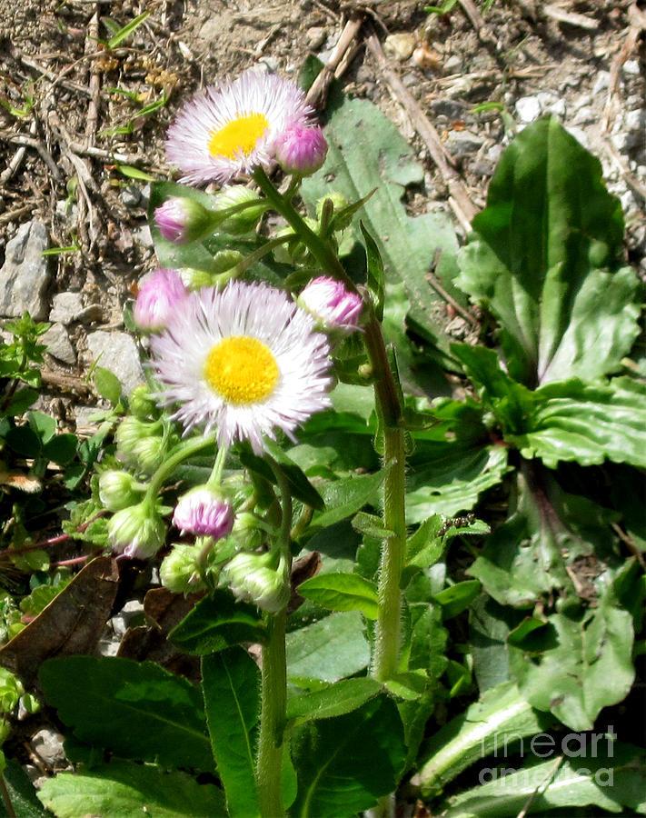 Daisy Photograph - Wild Daisy by The Kepharts