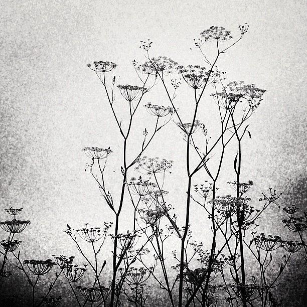 Fennel Photograph - Wild Fennel #fennel by Denise Taylor