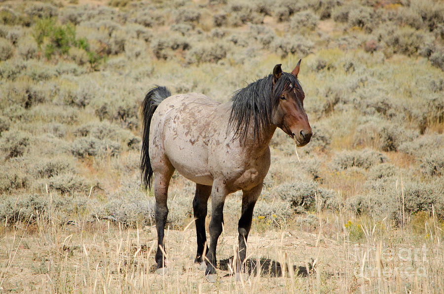 Wild Horses Wyoming The Mare Photograph By Donna Greene