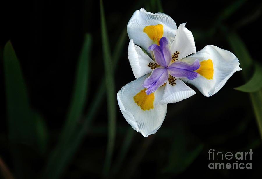 Iris Photograph - Wild Iris by Kaye Menner