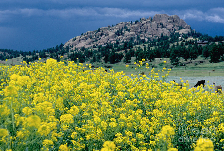 Colorado Landscape Photograph - Wild Mustard by James Steinberg and Photo Researchers