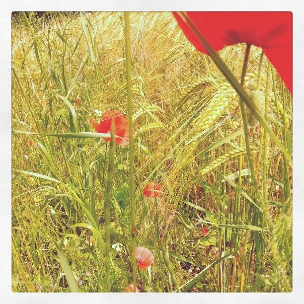 Wild Poppies Photograph by Louise Whitmore