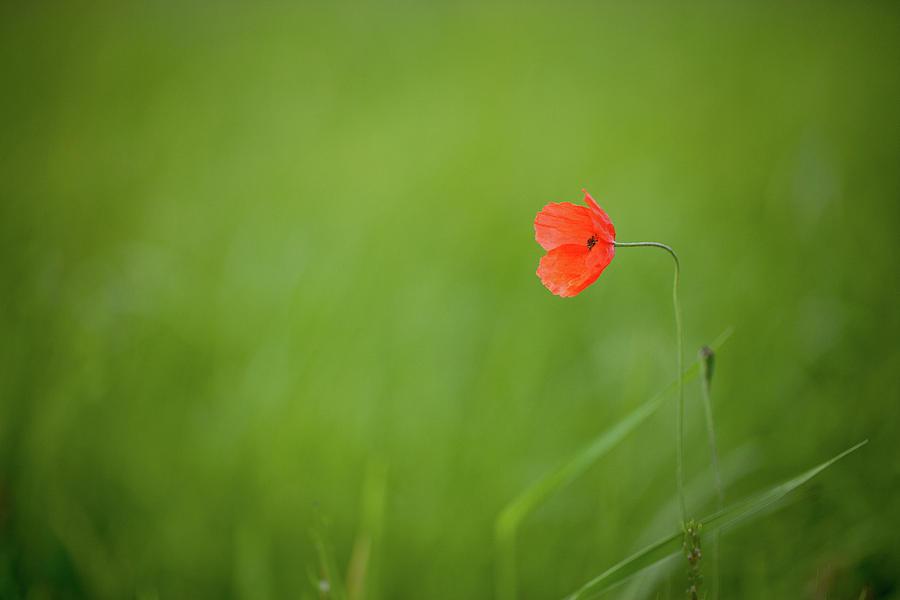 Horizontal Photograph - Wild Poppy by Peter Chadwick LRPS