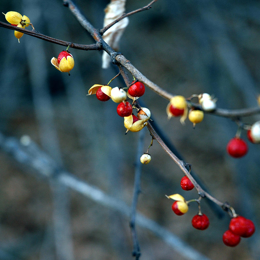 Usa Photograph - Wild Red Berries Out Of The Shell by LeeAnn McLaneGoetz McLaneGoetzStudioLLCcom