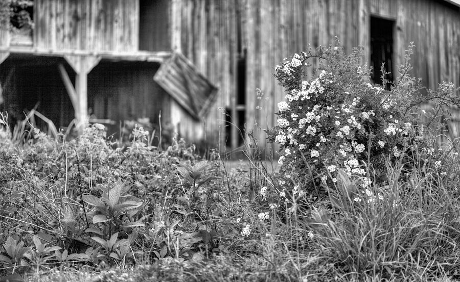 Wild Roses Photograph - Wild Roses Bw by JC Findley